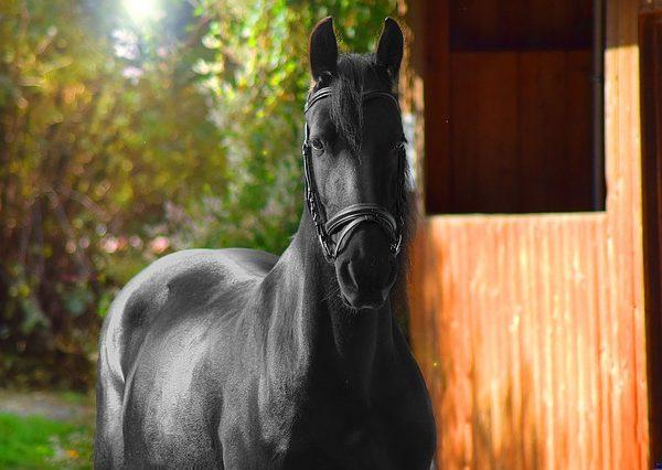 fries-paard-nationale-friese-paardendag